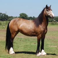 buckskin or smoky brown gyspy mare