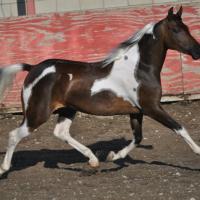 Half Arabian Pony