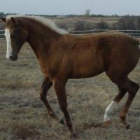 palomino filly (horse) at 3 Months