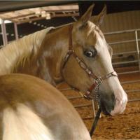 palomino horse at 4 Years Old