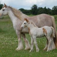 Tobiano and dominant white or Sabino 1