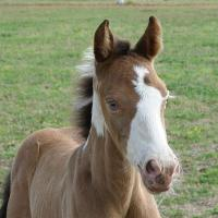 Amber Champagne Pinto Foal