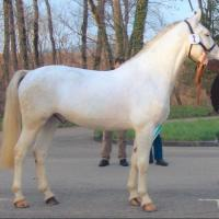 Dominant White Horse C