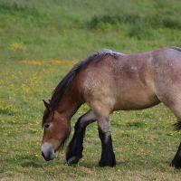 Bay Roan Belgian Draft Horse