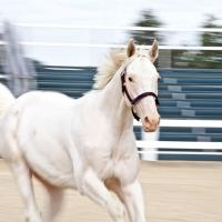 White Thoroughbred at Kentucky Horse Park