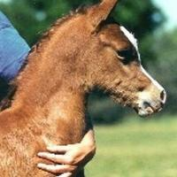 Antham As A Foal