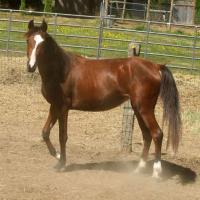 Noble BellaRio, 7/8 Arabian