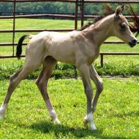 A buckskin foal