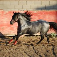 Blue, Blue Roan QH Stallion