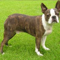 A Brindle Boston Terrier