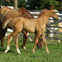 A red dun mare with a red dun foal