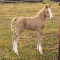 Cassie's Gold Locket Foal