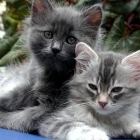 Dilute Kittens