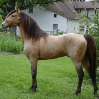 amber champagne stallion