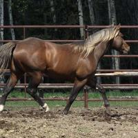 silver brown quarter horse