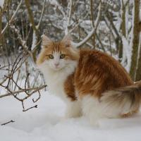 Recessive Red in a Cat