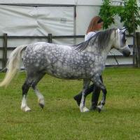Dappled Pony