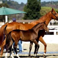 brown filly at inspection