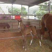 brown filly