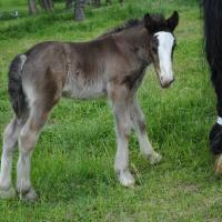 black filly with LP at around 2 weeks