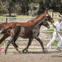 "Brown foal ""Independence KF"" 7 months"