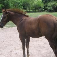 Chestnut AA colt during foal shed
