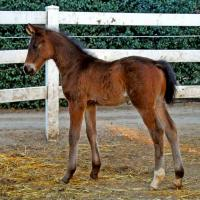 "Brown foal ""Independence KF"" 2 weeks"