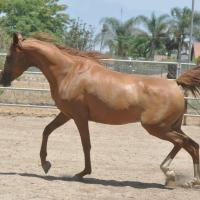 Swan Song ER a chestnut Arabian mare AA at agouti