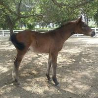 "Brown foal ""Independence KF"" 2 months"