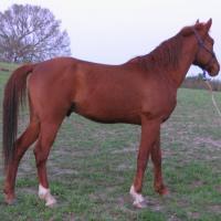 Chestnut Arabian eeAA