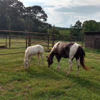 Solid White Filly Older With Dam