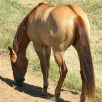 red dun horse showing leg bars and dorsal
