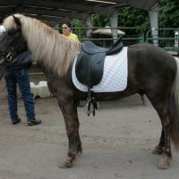 silver black Icelandic horse