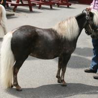 silver black horse