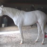 Dominant White Horse D