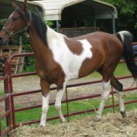 Rocket to Fame, Saddlebred
