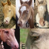 champagne horse skin and eye characteristics