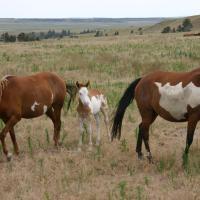 Frame Overo Mustangs