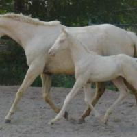 palomino with her cremello colt