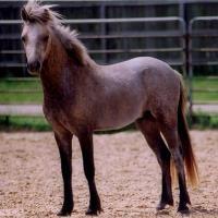 Scarborough Grendyl buckskin going gray