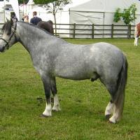 Grey Welsh Pony Stallion