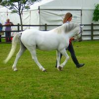 Grey Pony Stallion