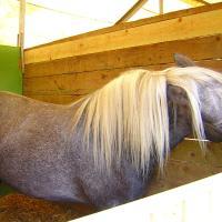 Greying Highland Pony
