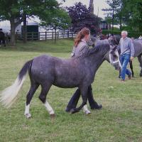 Dark Grey Welsh Pony