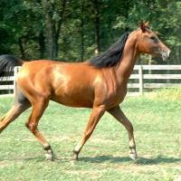 A wild-bay horse