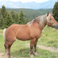 Silver bay draft type horse