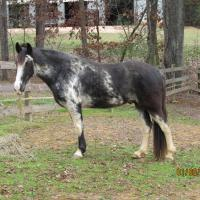 Sabino (SB1) Tennessee Walking Horse