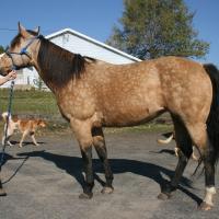 Buckskin Quarterhorse