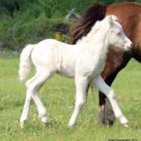 Smokey Cream Colt (horse) (foal)