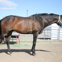 Brown thoroughbred